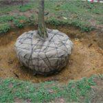 Sadzenie drzew i krzewów z bryłą korzeniową