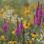 Bukiety - Rośliny dziko rosnące